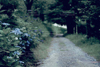 自然,屋外,紫陽花,道,フィルム,草木,フィルム写真,フィルム風,フィルムフォト