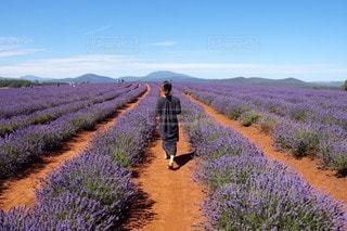 ラベンダー畑とワンピースの写真・画像素材[2382054]