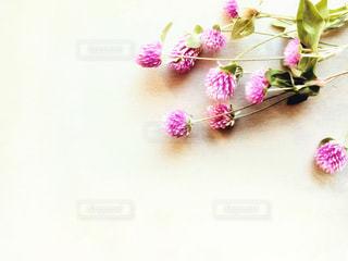 ピンクの千日紅のクローズアップの写真・画像素材[3004103]