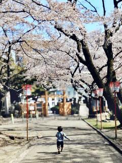 子ども,1人,風景,公園,花,春,桜,木,屋外,青空,花見,樹木,お花見,提灯,道,イベント,歩道,男の子,灯籠,さくら