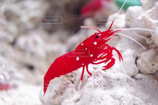紅白のエビの写真・画像素材[2477617]
