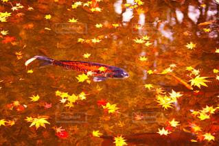 秋の鯉の写真・画像素材[2511239]