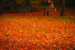 紅葉の絨毯の写真・画像素材[2511246]