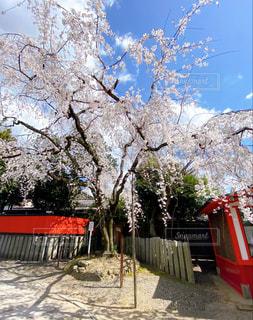 空,花,桜,木,屋外,京都,神社,赤,雲,綺麗,花びら,満開,樹木,日本,快晴,赤色,関西,草木,さくら,晴れ空