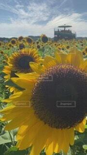 空,花,屋外,ひまわり,黄色,草木,広葉