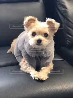 犬,動物,かわいい,ペット,座る,ソファ,子犬,テリア,革
