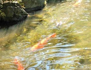 池と鯉と光の写真・画像素材[2648049]