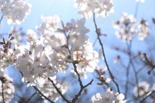 空,花,春,枝,樹木,桜の花,さくら,ブルーム,ブロッサム
