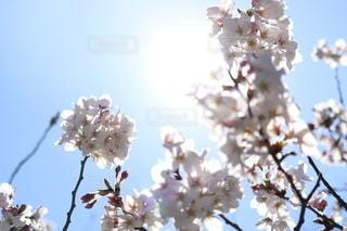 空,花,春,たくさん,草木,桜の花,さくら,ブルーム,ブロッサム
