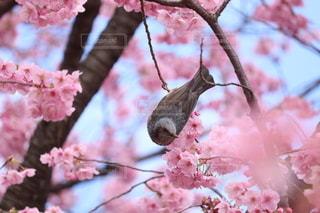 花,春,動物,ピンク,鮮やか,樹木,蝶,草木,桜の花,さくら,ブロッサム