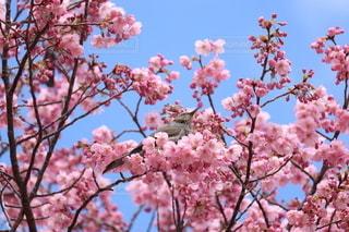 空,花,春,ピンク,青,葉,鮮やか,樹木,草木,桜の花,さくら,ブロッサム