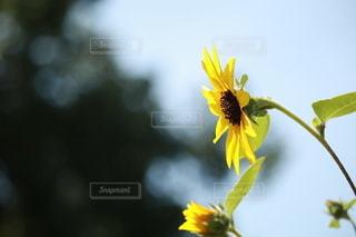 ひまわり畑の写真・画像素材[3565104]