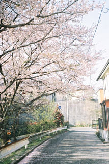春,桜,木漏れ日,光,道,フィルム,通学路,自然光,フィルム写真,フィルムフォト,なんでもない道