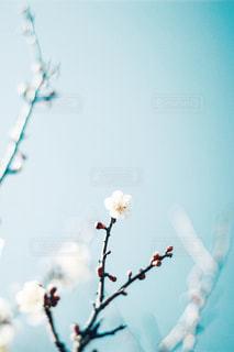梅の花の写真・画像素材[3016462]