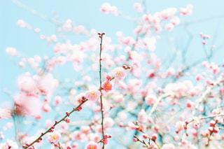 梅の花の写真・画像素材[3016465]