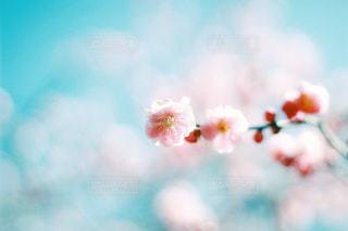 梅の花の写真・画像素材[3016488]