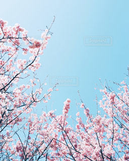空,花,春,桜,木,花見,満開,お花見,イベント,草木,桜の花,さくら,ブロッサム