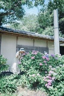 紫陽花の写真・画像素材[3376935]