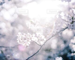 桜の写真・画像素材[4276814]