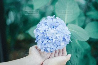 紫陽花の写真・画像素材[4558370]