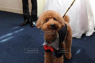 衣装を着た犬の写真・画像素材[2716989]