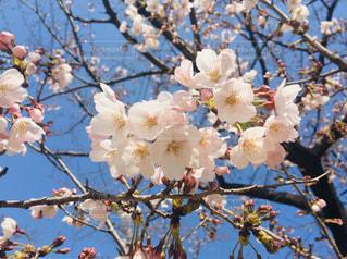 花,春,木,花見,樹木,お花見,イベント,桜の花,さくら
