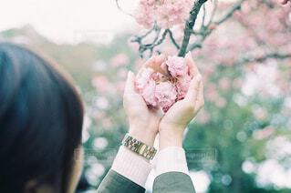 八重桜の写真・画像素材[4300194]