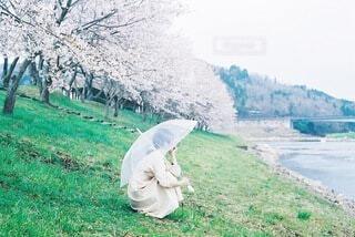 桜と雨の写真・画像素材[4644574]