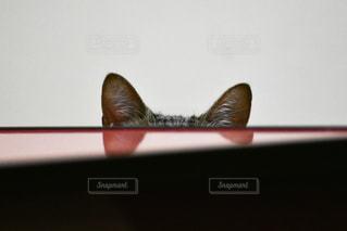猫,動物,屋内,ペット,子猫,人物,隠れる,キジトラ,耳,ネコ,隠れたつもり