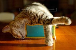 猫,動物,テーブル,ペット,寝る,子猫,人物,可愛い,寝相,キジトラ,熟睡,ネコ,ティシュペーパー,ティシュペーパー箱