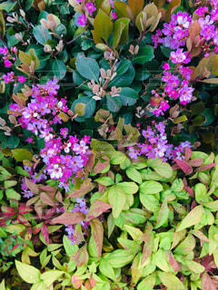 大きな紫色の花が庭にあるの写真・画像素材[2385514]