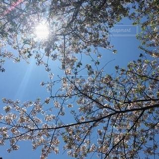 桜の写真・画像素材[2674489]