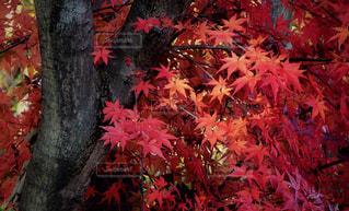 ピンクの花を持つ木の写真・画像素材[2515596]