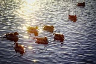 光る川面と浮かぶ鴨の写真・画像素材[2645041]