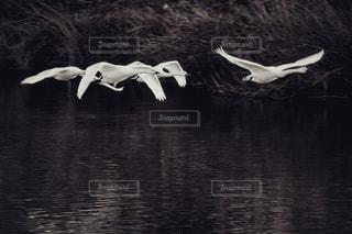 川の上を飛ぶコハクチョウのグループの写真・画像素材[2830500]