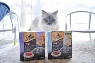 ラグドール猫と、シーバ。の写真・画像素材[4235346]