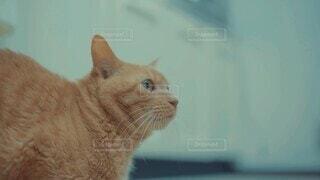 猫,動物,屋内,オレンジ,ねこ,ペット,座る,生物,生き物,茶トラ,見つめる,振り返る,飼い猫,振り向く,ネコ科,ネコ,気づき,結構,気付き,気がつく