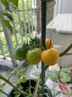 ベランダで栽培。ミニトマトの写真・画像素材[2812304]