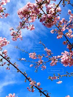 青空と河津桜の写真・画像素材[2990552]