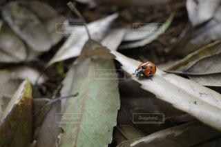 落ち葉テントウムシの写真・画像素材[2400364]