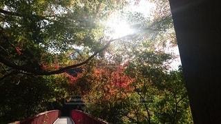 森の中の大きな木の写真・画像素材[2514104]