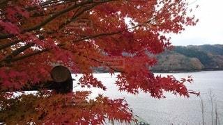 木の上のピンクの花の群しの写真・画像素材[2514105]