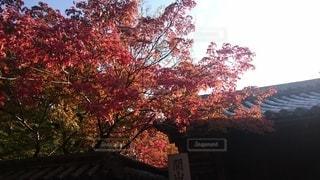 大きな木の写真・画像素材[2514112]