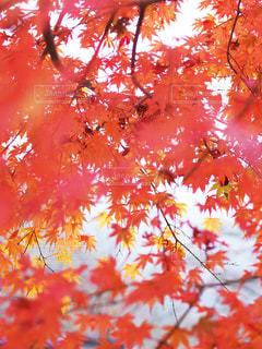 ふんわり紅葉の写真・画像素材[2551451]