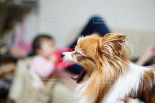 カメラを見ている犬の写真・画像素材[2700471]