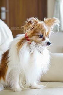 小さな茶色と白い犬の写真・画像素材[2704835]