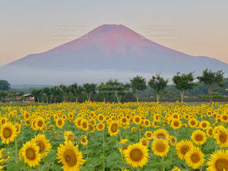 朝日を浴びる富士山と満開のひまわり畑の写真・画像素材[2405960]