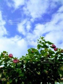 芙蓉の花と秋の空の写真・画像素材[2448163]