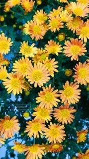 黄色い花の写真・画像素材[3340464]