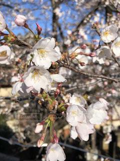 桜の花の写真・画像素材[3050921]